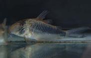 Jenis Ikan Corydoras geoffroy