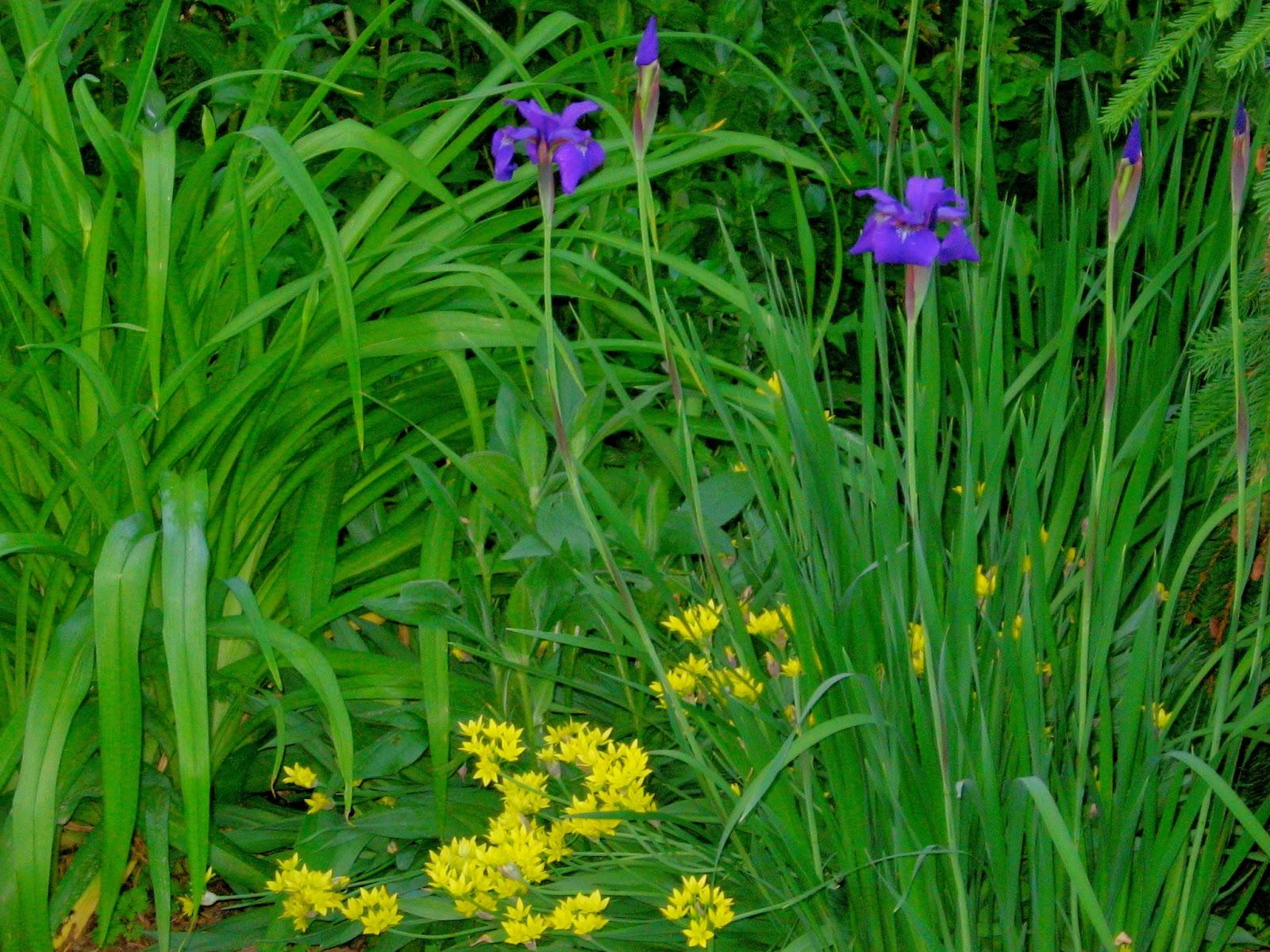 Astrid's Garden Design: Blue in the garden