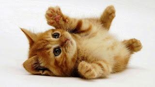 Gambar Wallpaper Kucing Lucu Banget 20003