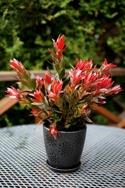 4-callistemon-red-rocket-spec.jpg