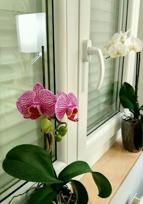 My_Princess_Orchid_©SandraSánchez