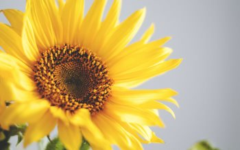 Wallpaper: Sunflower Free Picture