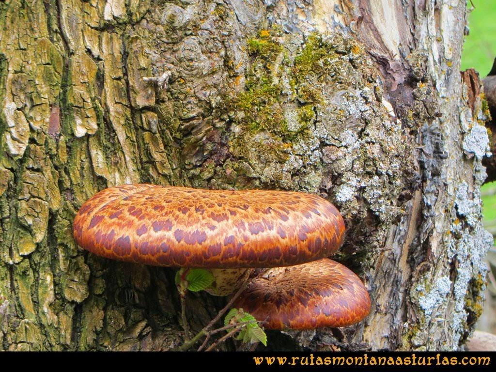 Ruta Peña Redonda: Hongos en el árbol
