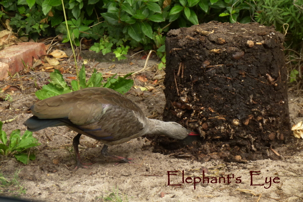 Hadeda ibis at compost heap