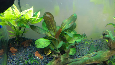 Cyanobacteria or blue-green algae in planted aquarium