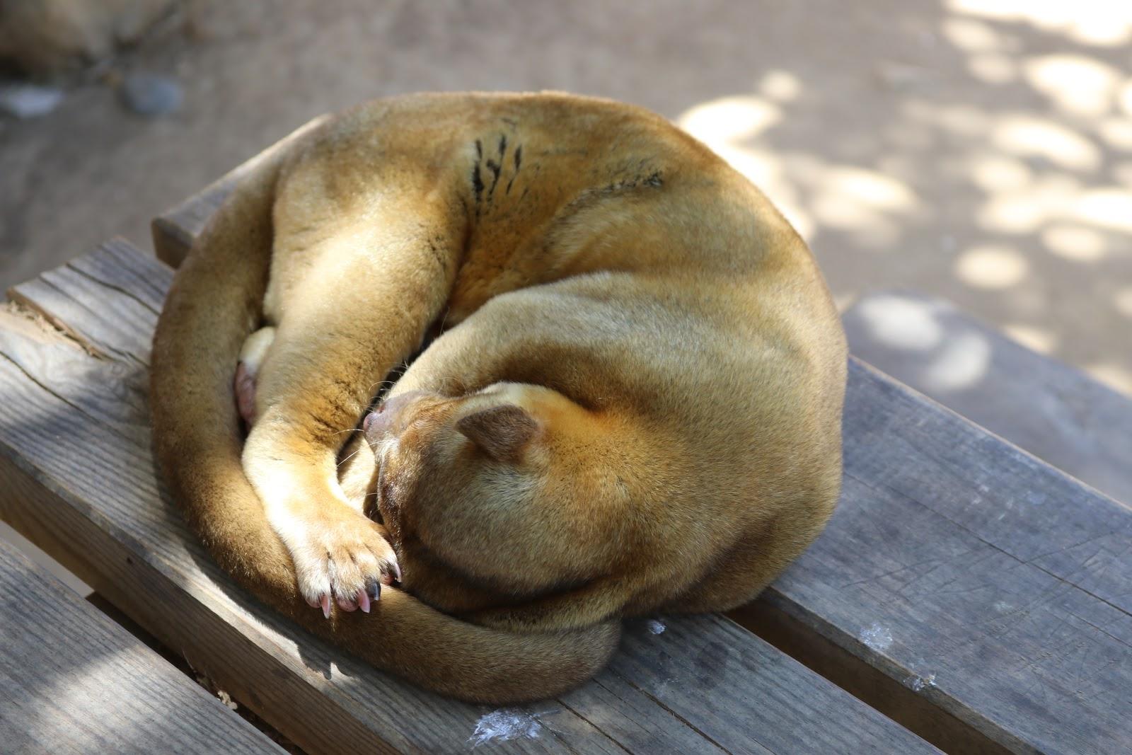 A Kinkajou, Honey Bear in zoo de Castellar, Spain