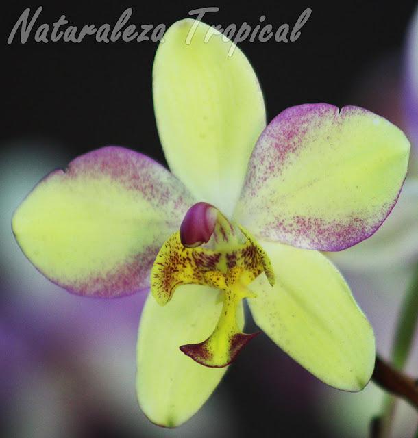Híbrido de orquídea del género Spathoglottis