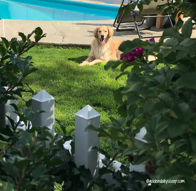 golden retriever dog laying in grass in backyard