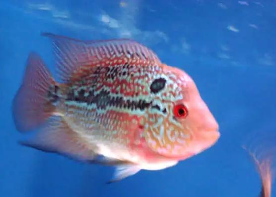 Jenis Ikan Louhan Termahal Di Dunia Ini Superperikanan
