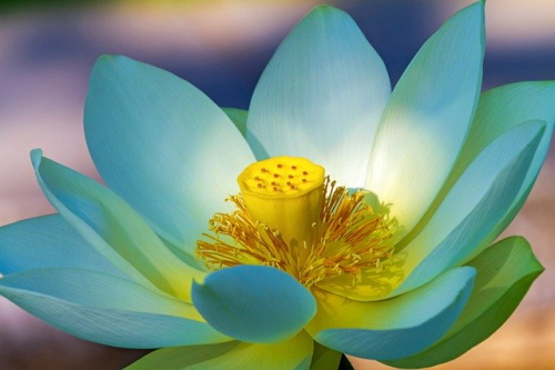 Flor de lótus. #PraCegoVer