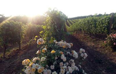 vigne monferrato