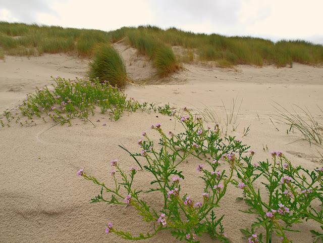Meersenf im Sand. Der Meersenf hat violette Blüten.