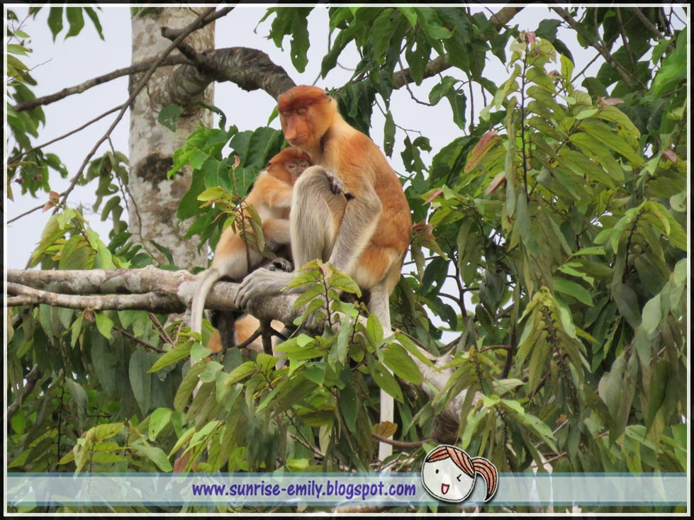 proboscis monkey wild life