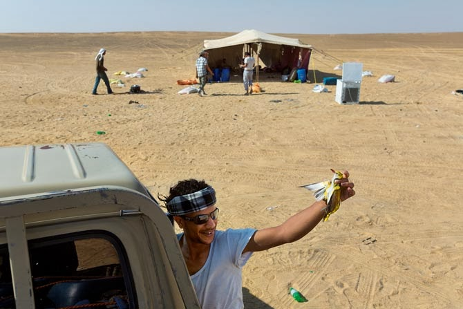 A young Bedouin in the Western Desert shows off a sample from his morning haul: a golden oriole rich in fat after a summer in Europe. Bedouin tend to eat what they catch. Plucked and fried, this two-ounce bird will provide two bites of meat.