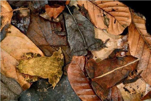 katak tanduk panjang kamuflase