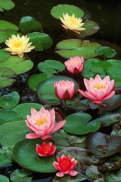 The Lotus flower is a metaphor for Buddhism/a metaphor for life- the muddy swamp is where the Lotus Flower blooms