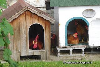 gallina modenese nel giardino della fattoria didattica dell ortica a Savigno Valsamoggia Bologna vicino Zocca appennino