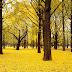 Ciri - Ciri Dan Manfaat Dari Pohon Ginkgophyta Yang Merupakan Salah Satu Spesies Pohon Tertua Di Dunia