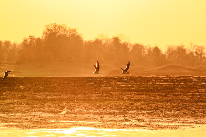 Indian Skimmers flying over River Denwa in Satpura National Park