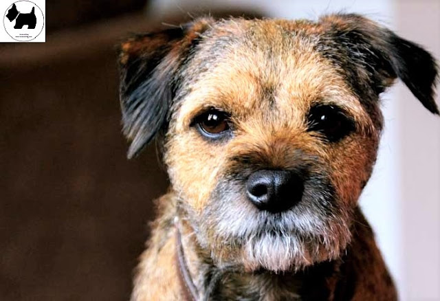Cutest Dog Breeds, Best Dog, Border Terrier Dog puppies