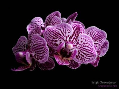 Mini orquídea Phalaenopsis híbrida