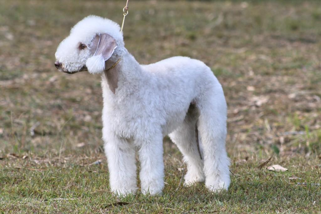 The Dog In World Bedlington Terrier Dogs