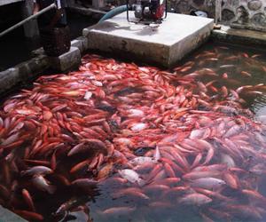 Cara Memotong Sirip Ekor Ikan Nila Agar Tetap Aman