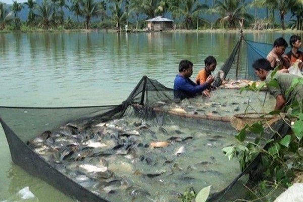 Pendederan Ikan Patin
