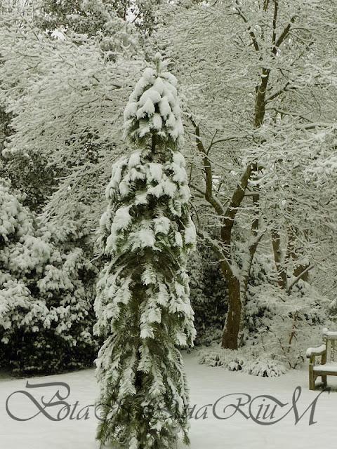 Botaniquarium - Wollemia nobilis in snow