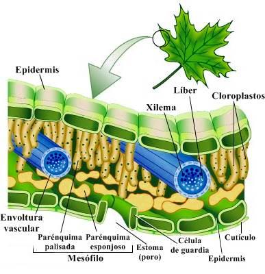 Epidermis de la hoja de una planta