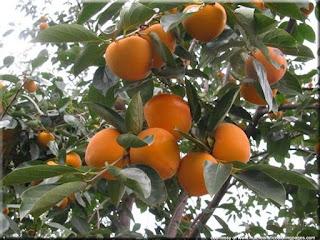 Oriental persimmon (Diospyros kaki) fruit images