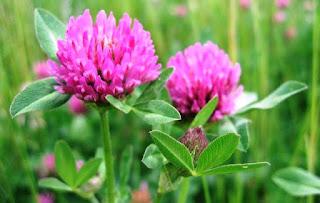 Цветок Татьяны - клевер
