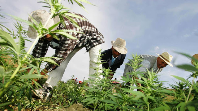 Weed dealers will be OK after marijuana becomes legal,
