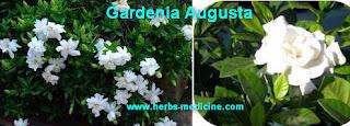 Herbal medicine use Gardenia Augusta