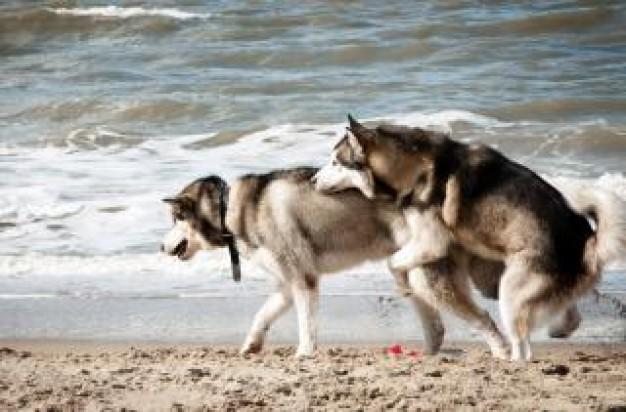 alla ricerca del Siberian Husky: Accoppiare il cane maschio o femmina