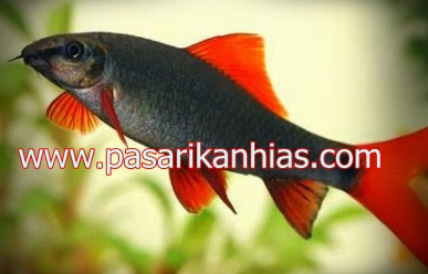 Ikan hias air tawar black shark