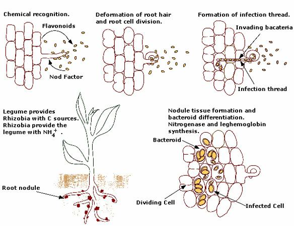 relationship between rhizobium and legumes pictures