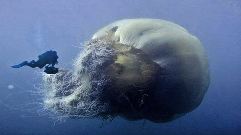 What is the largest jellyfish on earth all five oceans for Fish in jellyfish
