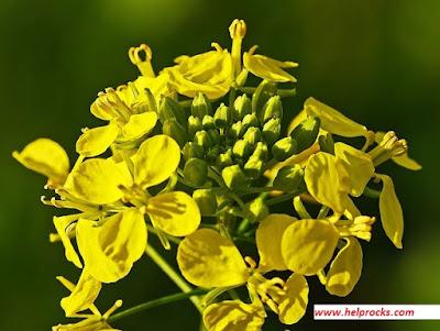 Mustard green - मस्टर्ड ग्रीन सरसों