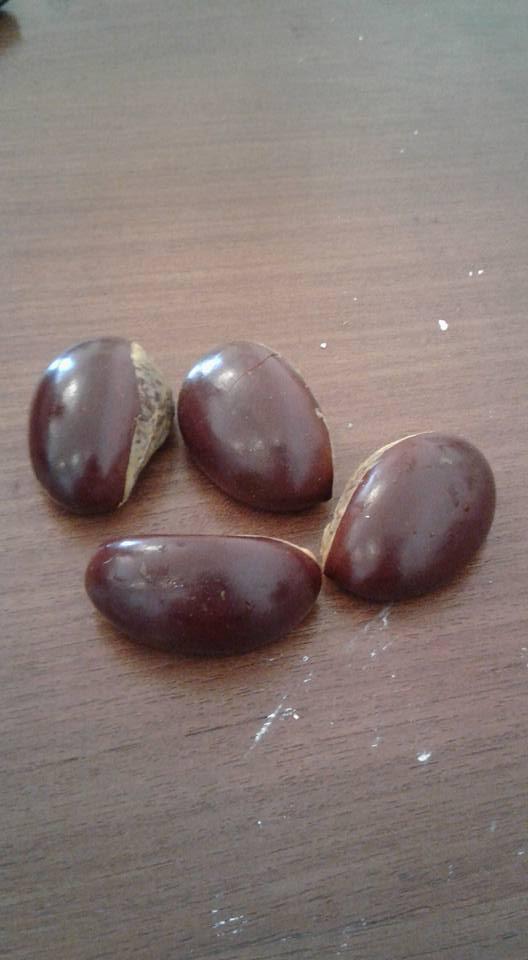 biji buah alkesa