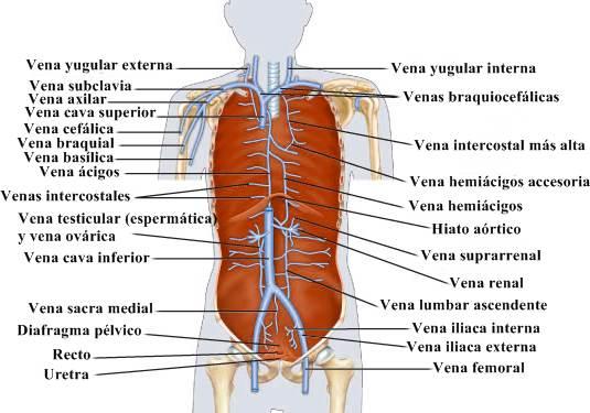Vena cava y afluentes del sistema cardiovascular humano.