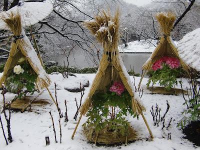 鶴岡八幡宮の正月ぼたん