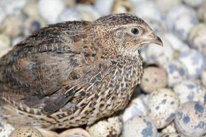 Cara beternak burung puyuh petelur untuk pemula
