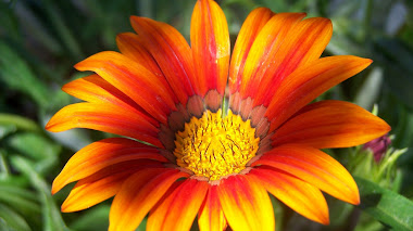 Gazania splendens Big Kiss Orange Bicolor