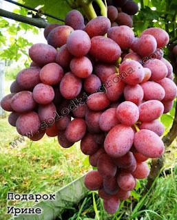 Irina Gift Grape