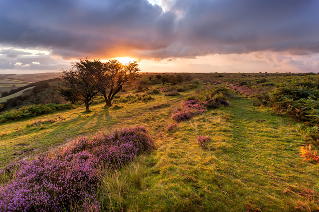 Heather and trees on Winsford Hill bathed in the warm light of sunrise in Exmoor
