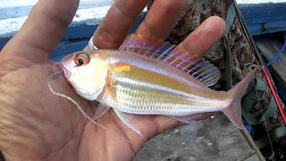 ikan kurisi