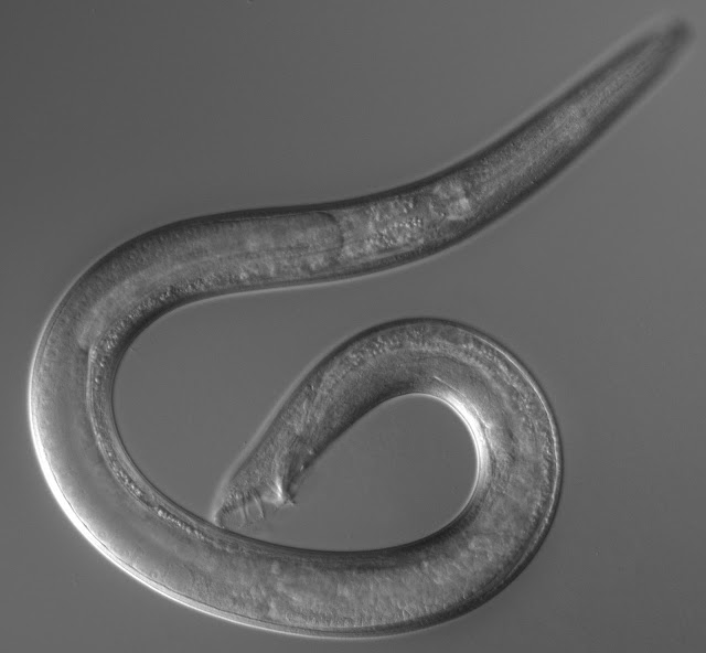 Worm species lost 7,000 genes after evolving to fertilize itself