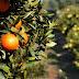 Θετική ήταν η καλλιεργητική χρονιά για τους παραγωγούς μανταρινιού στη Θεσπρωτία