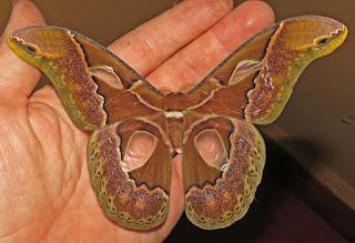 Rothschildia aricia